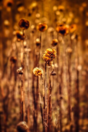 Sunflower Heads in the Winter Sun by John Dunbar