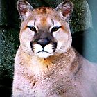 Cougar by kchase