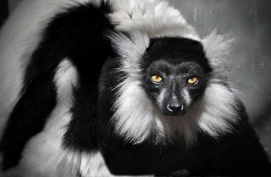 Black-and-white Ruffed Lemur by venny