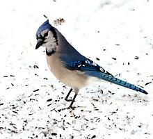Blue Jay standing on snow. by crspix