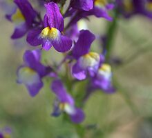 Purple Pansies by paulbl