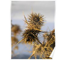 Wild Teasel Seed Poster