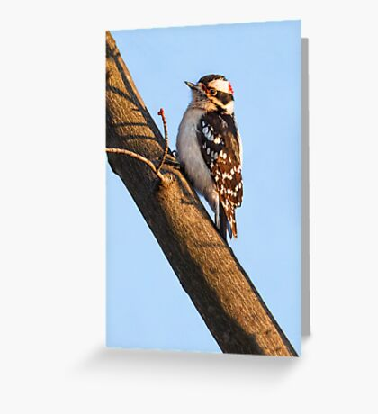 Downy Woodpecker and Budding Maple Branch Greeting Card
