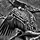 Monochromatic Vulture by Caleb Ward