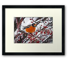 Robin with Crab Apple in the Snow Framed Print