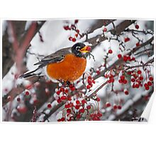 Robin with Crab Apple in the Snow Poster