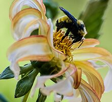 Bumblebee on dahlia by Celeste Mookherjee