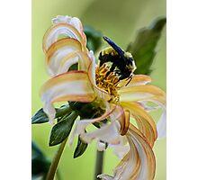Bumblebee on dahlia Photographic Print