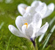 White Crocus by Vac1