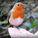 """"""" I'm sorry it's another Robin"""" (but this one was special) by Malcolm Chant"""