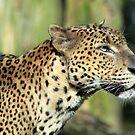Leopard (Panthera pardus) by DutchLumix