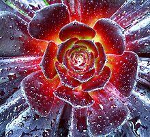 Succulent Aeonium by Wayne Gerard Trotman