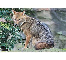 Golden jackal (Canis aureus) Photographic Print