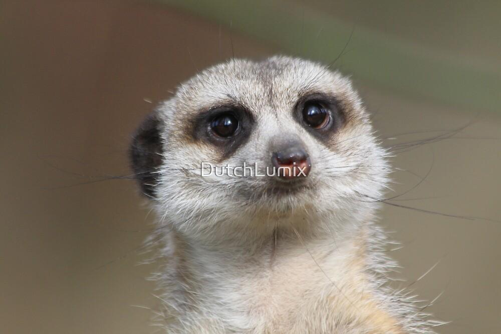 Meerkat (Suricata suricatta) by DutchLumix