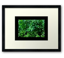 Petroselinum Crispum - Garden Parsley Framed Print