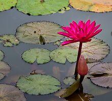 Lotus Flower by Mike Herdering