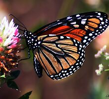 Viceroy on Red Clover by ArtbyBart