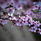 Cherry Blossoms of Spring by HeavenOnEarth