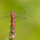 Red Dragonfly by César Torres