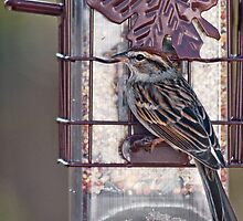 Chipping Sparrow by Otto Danby II