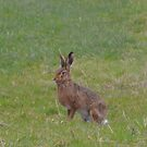 Lancashire: Mad March Hare by Rob Parsons