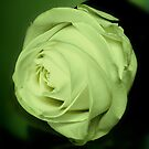 Green light for a white rose by bubblehex08