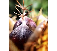 Sweet chestnut Photographic Print