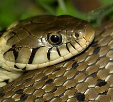 Grass Snake by Kawka
