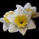White &amp; Yellow Daffodils by AnnDixon
