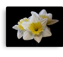White & Yellow Daffodils Canvas Print