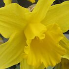 Single Daffodil 2 by cathycnyrs