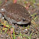 Eastern Narrowmouth Toad  by Michael L Dye