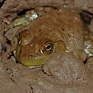 Bullfrog  by Michael L Dye
