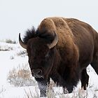 Bison by Will Hore-Lacy