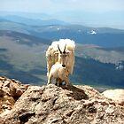 Rocky Mountain Goats by kchase