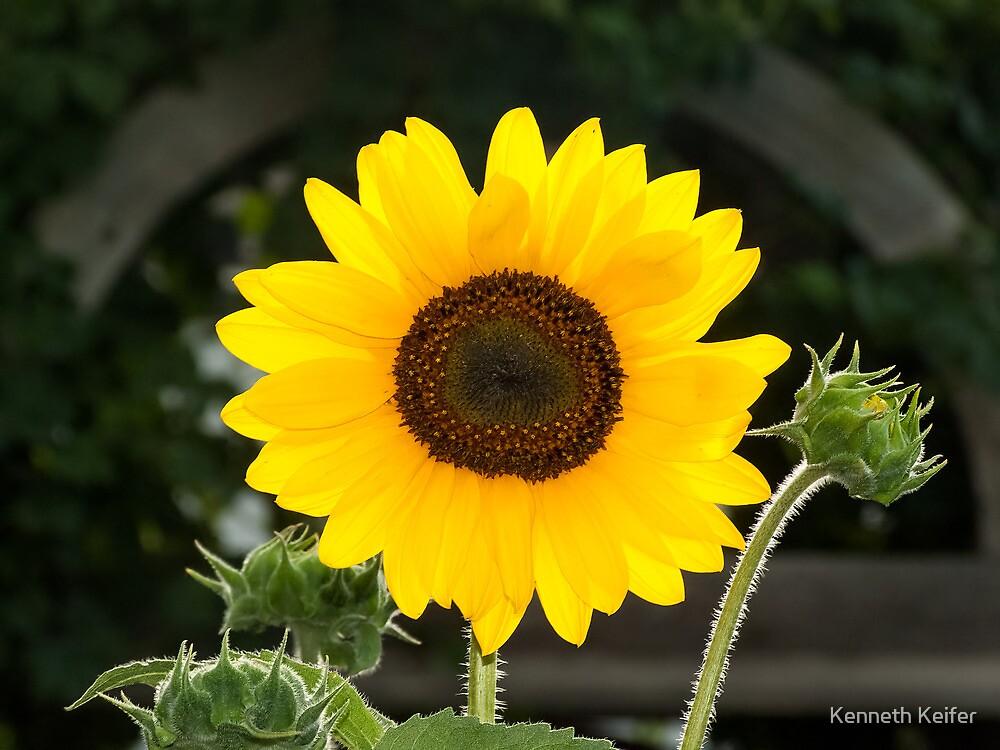 Bright Yellow Sunflower by Kenneth Keifer