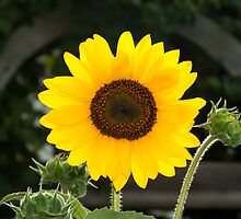 Bright Yellow Sunflower by Kenneth Keifer