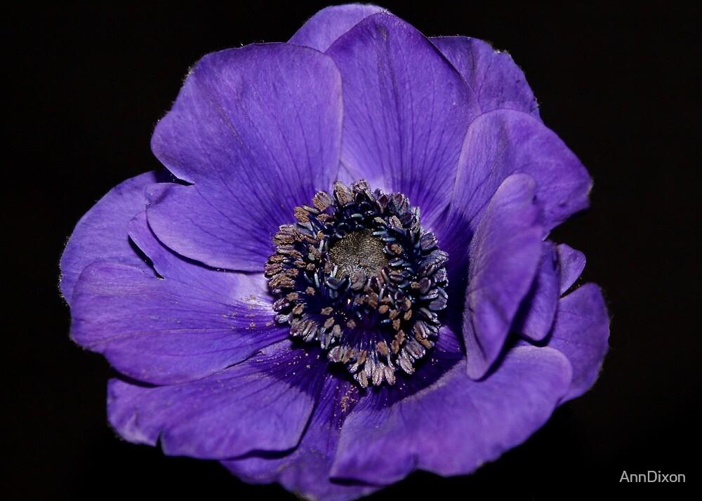 Lavender Anemone by AnnDixon