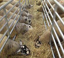 sheep by Robert Steadman