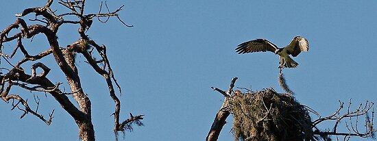 Osprey Nest by T.J. Martin