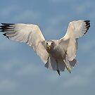 The Gull by Kathy Baccari