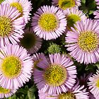 Beach Asters by redown