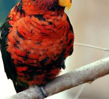 Little Song of Lory by UnusualAngles