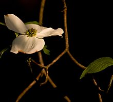 Dogwood by Otto Danby II