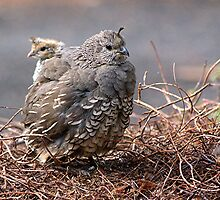 Whither thou goest I will follow.......California Quail......! by Roy  Massicks