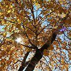 Birch Trees in Sunlight by Kelley Shannon
