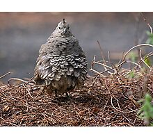 Mrs Californian Quail in the latest fluffed up fashion...........! Photographic Print
