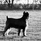 Mini-Schnauzer, Black by Mickey Harkins