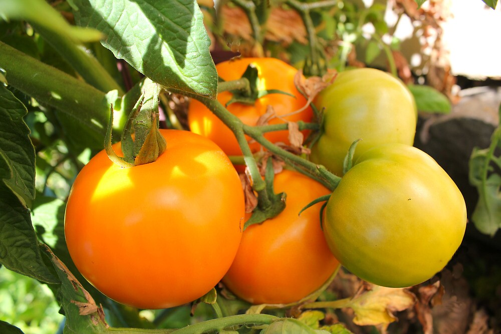 Mellow Yellow...Tomatoes kissed by the Sun by Elaine Game
