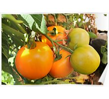 Mellow Yellow...Tomatoes kissed by the Sun Poster